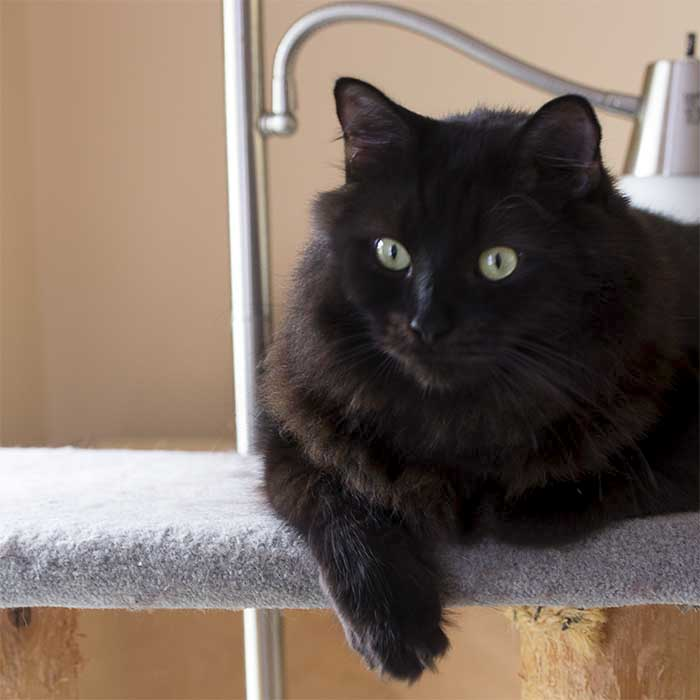 A fluffy black cat with green eyes sitting on top of a cat tower looking proud.