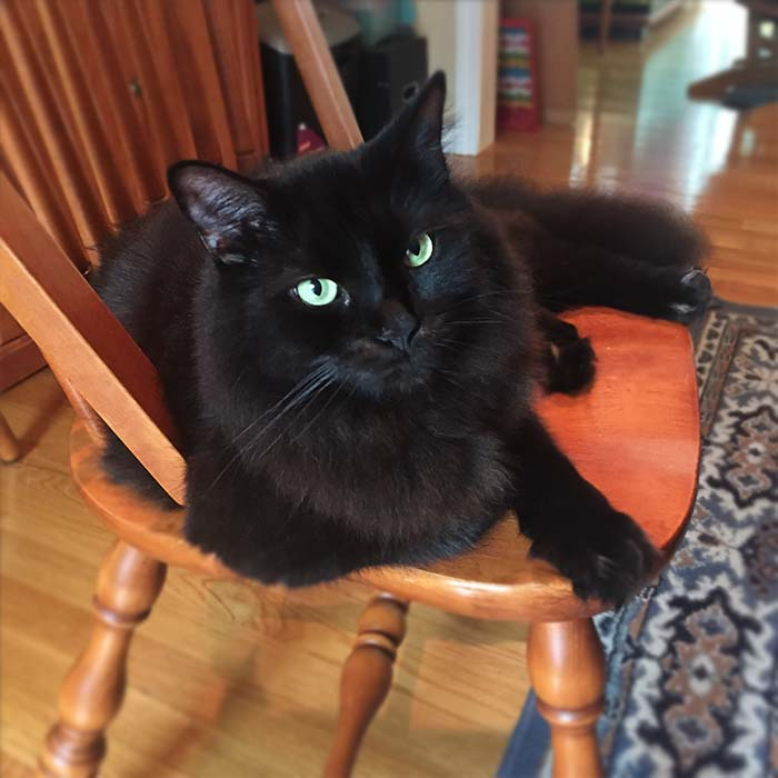 Midnight, a fluffy black cat, is sitting in a chair looking disgruntled.