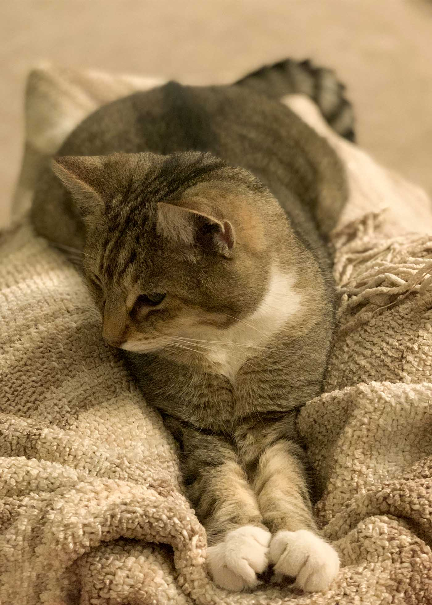 A brown tabby cat with a white bib and paws stretched out on a brown blanket on a lap.